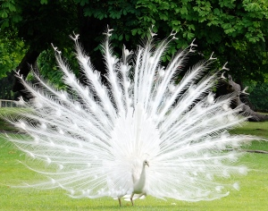 The Albino peacock complex